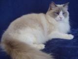 Рагамаффин кошка фото