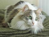Рагамаффин кот