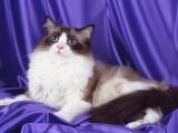 Порода кошки рэдголл