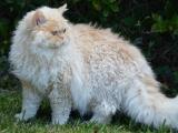 Фото кошки селкирк-рекс