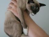 Фото кошке сноу-шу