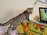 Фото кошеки Тойгер