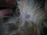 Первая стадия рака молочной железы у кошки