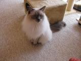 Порода кошек Регдолл