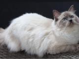 Кошка Регдолл