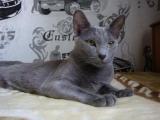 Порода кошек русская голубая фото