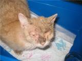 У рыжего кота саркоптоз
