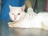 Симптомы саркоптоза у кошек на фото