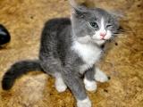 Кошки с саркоптозом постоянно чешутся