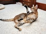 Большая кошка саванна