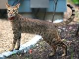 Кошка породы саванна
