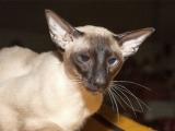Фото сиамской кошки