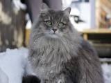 Порода сибирская кошка