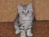 Полосатый котенок породы скоттиш-страйт