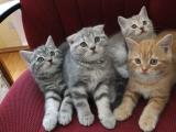 Котята породы скоттиш-страйт