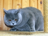 Скоттиш-страйт голубого окраса