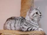 Полосатая кошка скоттиш-страйт