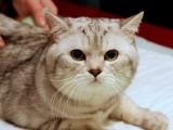 Красивый кот скоттиш-страйт
