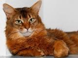 Фото породы сомалийская кошка