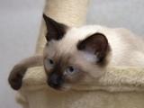 Тайская порода кошек