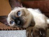 Тайская порода кошек фото