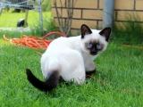 Тайские кошки окрасы фото