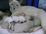 Тонкинская кошка и котята