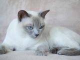 Фото породы кошек тонкинской