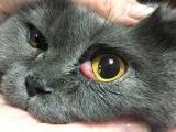 Как выглядит выпадение века у кошки