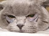 Заворот века у кота