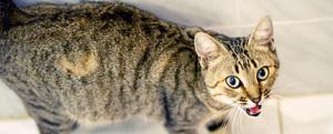 Токсоплазмоз и беременность кошек