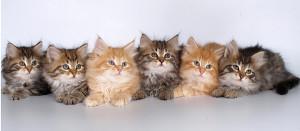 Окрас подскажет пол котенка