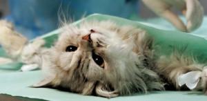 Где лучше делать кастрацию кота
