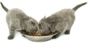 Котята британской породы едят