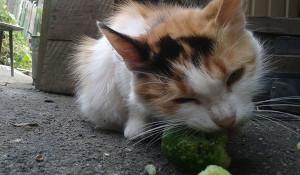 Кот ест огурцы
