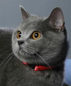 Как узнать, что кошка точно британская