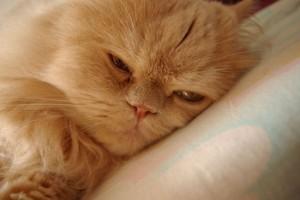 Отравление кошки каплями от блох