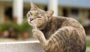 Профилактика от блох для кошек