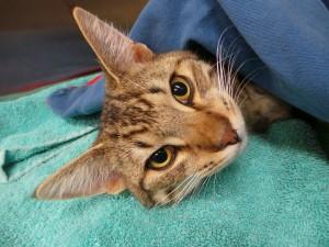 Плюсы и минусы кастрации котов