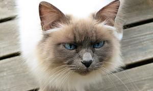 Бирманская кошка - стандарт породы