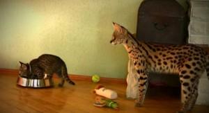 Чем кормить кошку саванна