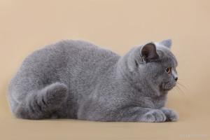 Британская кошка - гигиена