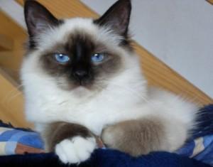 Отзывы владельцев о породе бирманская кошка