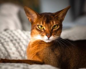 Характеристика породы Абиссинская кошка
