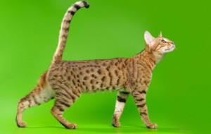 Характер кошки серенгети