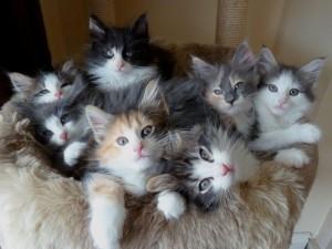 Котята породы норвежской лесной кошки