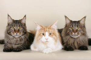 Коты мейн кун