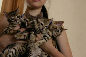 Котята бенгальской породы кошек