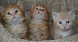 Котята курильского бобтейла