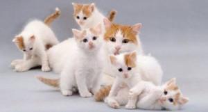 Котята породы турецкий ван